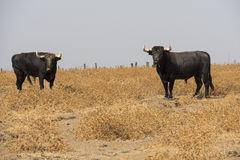 Farm bullring in Seville, Spain Royalty Free Stock Images