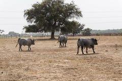 Farm bullring in Seville, Spain Royalty Free Stock Photo