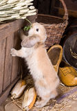 Farm bunny. Little curious easter rabbit finding food on a farm Royalty Free Stock Photography