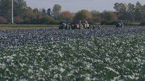 Farm Cabbage Harvest stock video footage