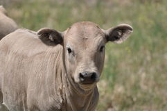 Farm calf in Pasture Royalty Free Stock Images