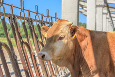 Farm calf Royalty Free Stock Images