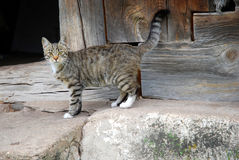 Farm cat. Tabby cat that lives on farm Royalty Free Stock Photography