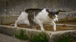 Farm Cat On The Hunt. A farm cat on the hunt for mice royalty free stock images