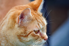 Farm Cat Royalty Free Stock Images