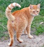 Farm Cat Royalty Free Stock Photos