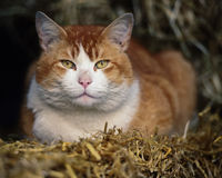 Farm Cat Lying on Hay. A large ginger and white farm cat lying on a bed of hay and stares intensely at the camera with his vibrant amber eyes stock images