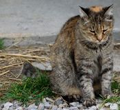 Farm cat sitting in the grass. This is a picture of a farm cat sitting outside the barn Stock Photo