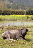 Farm cattle. A single farm cattle is lying in a field,taken in a Chinese countryside.There are yellow flowers  waters and hills in the picture Stock Images