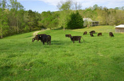 Farm cattle Stock Images