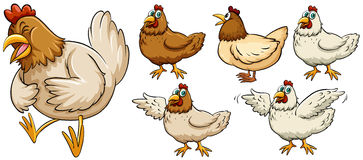 Farm chicken in different poses Stock Images