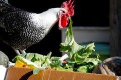 Farm chicken eating lettuce. Black and white farm chicken perched on a box eating lettuce Stock Image