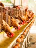 Farm chicken Stock Image