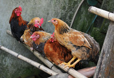 Farm chickens. Farm domestic chickens and rooster royalty free stock photography