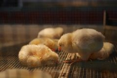 Farm Chickens in a  Cage - Baby Chicks / Peeps royalty free stock photos