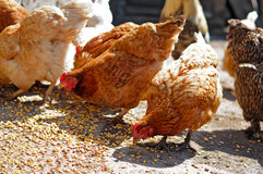 Farm chickens eating corn Royalty Free Stock Image