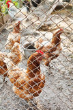 Farm chickens on poultry yard Royalty Free Stock Photography
