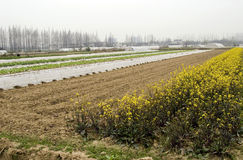 Farm in China. Farm for agriculture  crop in China,in the picture there are some yellow vegetable flowers and agriculture shed Stock Photo