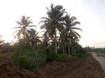 Farm. Cocoanut trees along the road stock images