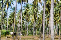 Farm. Coconut trees. Palawan Island. Stock Photo