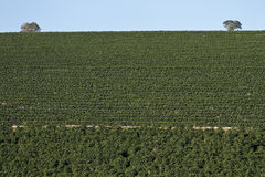 Farm coffee plantation in Brazil stock photos