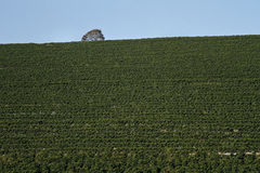 Farm coffee plantation in Brazil stock photo