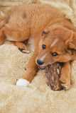 Farm Collie Puppy Chewing on Wood Royalty Free Stock Photography