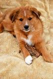 Farm Collie Puppy Stock Image