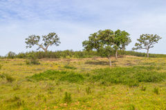 Farm with Cork tree forest and flowers in Vale Seco, Santiago do. Cacem, Alentejo, Portugal Stock Image