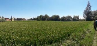 Farm. Corn farm with blue clean  sky Stock Photos