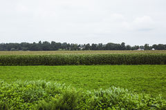 Farm with corn crop Stock Images