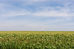 Farm corn field with blue cloudy sky Stock Photos