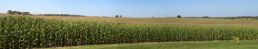 Farm Corn Field Panoramic Panorama Cornfield Stock Photography