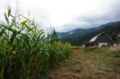 Farm. Cornfield with a barn and mountains in the background Stock Photo