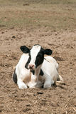 Farm cow in the field. Farm animals cows in the field lying Stock Images