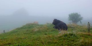 Farm cow in the fog Stock Photography