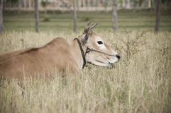 Farm cow on grass Royalty Free Stock Photography
