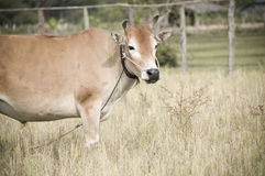 Farm cow on grass Stock Photography