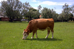 Farm cow grazes on green meadow. Farm cow grazing on a green meadow on a clear summer day stock image