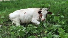 Farm cow grazing in a green field stock video footage