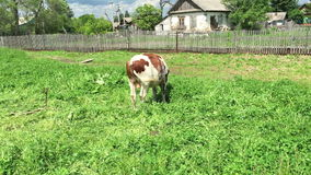 Farm cow grazing in a green field stock video