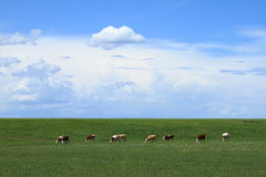 Farm and cow. Farm in Inner Mongolia of china Royalty Free Stock Photo