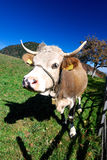 Farm cow in outdoor landscape Stock Photos