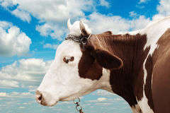 Farm cow on the sky background Stock Photography