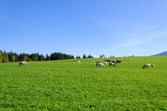 Farm and cows Royalty Free Stock Photos