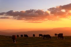 Farm cows on beautiful sunset. Mountain, summer, clouds, red ans yellow Royalty Free Stock Photo