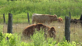 Farm Cows Grazing stock video footage