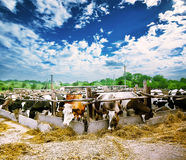 Farm with cows and hay Royalty Free Stock Photo