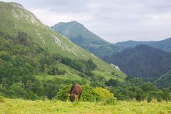 Farm cows. Cows in the Picos de Europa, Asturias. A very tourist place in Spain stock photography