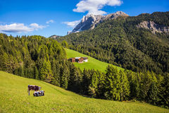Farm cows resting in the valley Stock Images